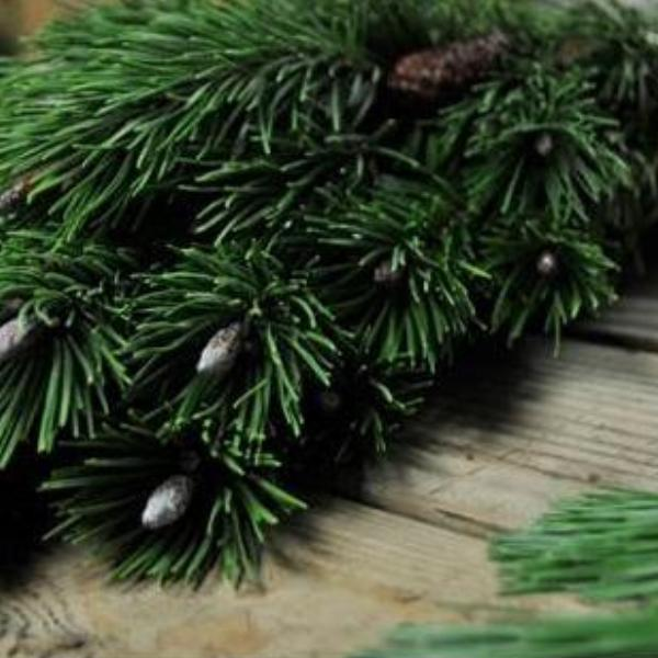 Shore Pine Greens Bunched