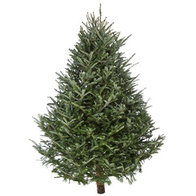 10-12' Fresh Balsam Christmas Tree