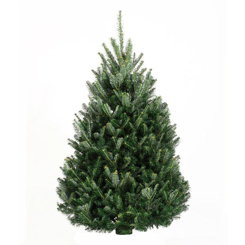 7-8' Fresh Fraser Fir Christmas Tree