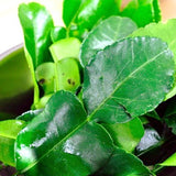 Fresh Kaffir Lime Leaves (Thai Lime Leaves) 1 Oz. - Chickadee Solutions - 1