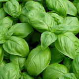 Basil Seeds - Large Leaf Italian Sweet Basil Heirloom Seeds ORGANIC NON-GMO ... - Chickadee Solutions