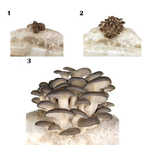 oyster mushroom kit instructions