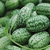 Mexican Miniature Watermelon Seeds Organic 'Cucamelon' Mini Sour Gherkin See... - Chickadee Solutions