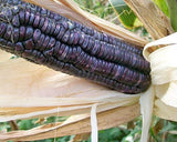 Corn McCormack's Blue Giant Dent (Blue) 50 Open Pollinated Seeds by David's G... - Chickadee Solutions