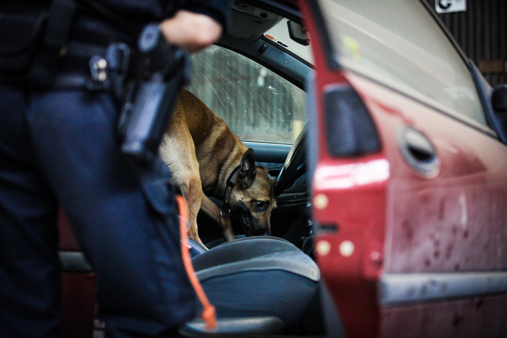 K9 Police Dog Investigating Car Sniffing for Opioids