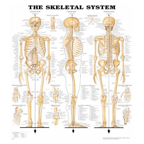 Anatomy Poster Wall Charts - Anatomy Charts - Mountainside Medical Equipment