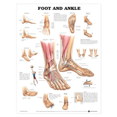 Anatomy Poster Wall Charts for Physicians Supplies by Anatomical Chart Company | Medical Supplies