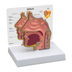 Buy Nose and Nasal Passages Sinus Model online used to treat Allergies - Medical Conditions