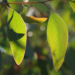 Buy Natural Eucalyptus Oil online used to treat Vitamins, Minerals & Supplements - Medical Conditions