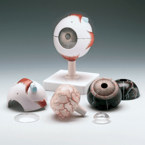Human Eye Model - Educators - Mountainside Medical Equipment