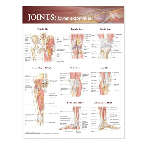 Joints of the Lower Extremities Anatomical Poster