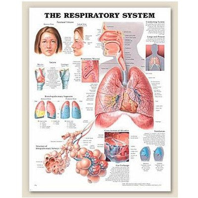 Complete Respiratory System: Sinus, Lungs, Larynx, Mucosa & Airways - Respiratory Supplies - Mountainside Medical Equipment