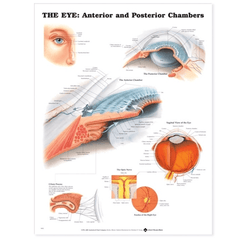The Eye Anterior and Posterior Chambers Poster for Eyes by n/a | Medical Supplies