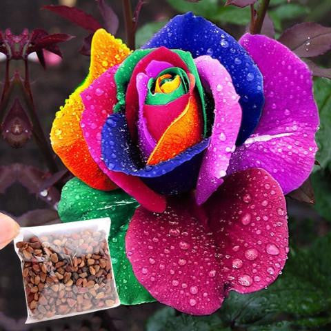 500 Seeds Rainbow Petal Rose