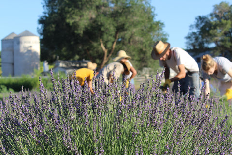 Lavender Field at Los Poblanos