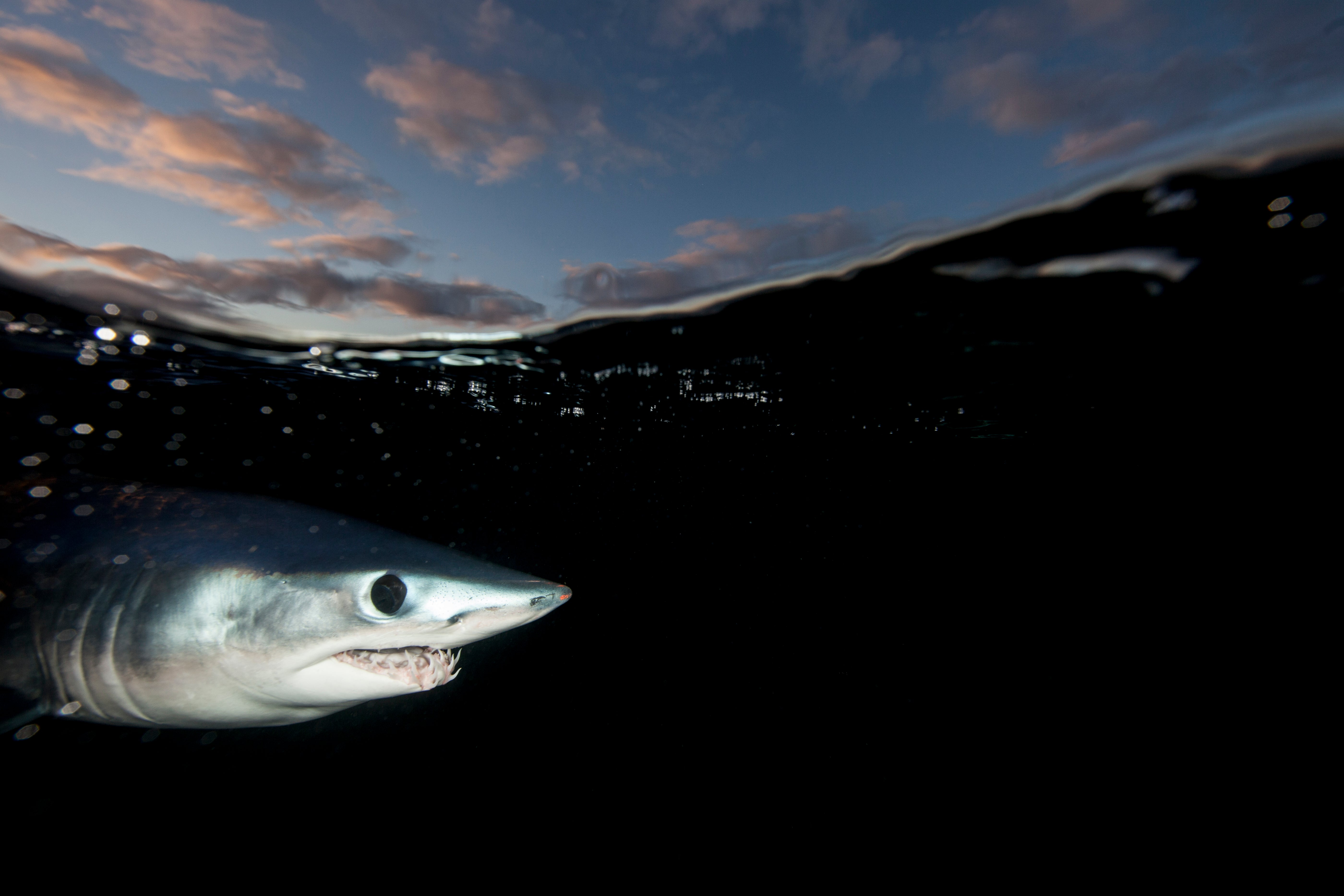 #Divers4Makos Petition Aims to Save the Atlantic Shortfin Mako from Extinction