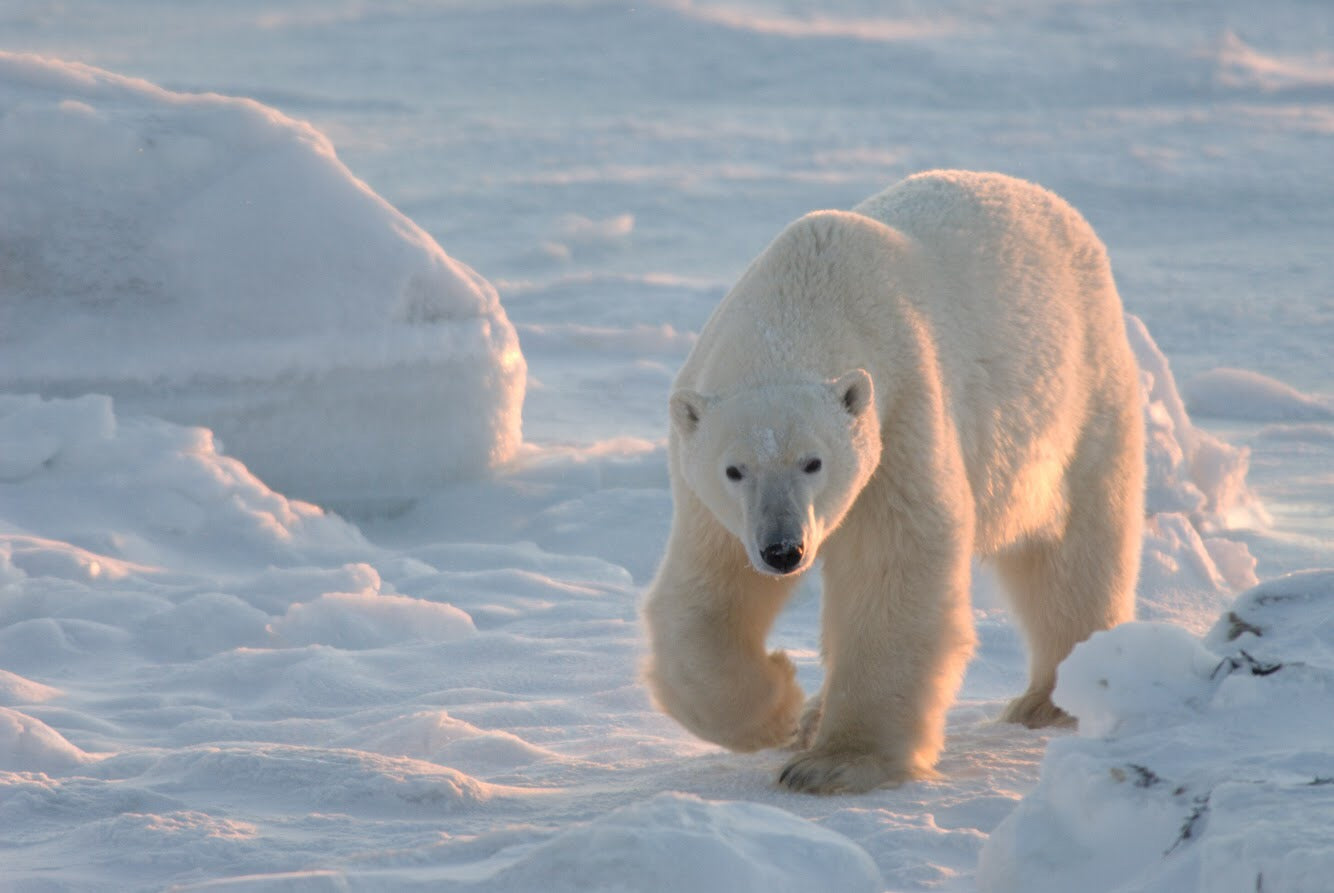 Myth vs. Facts: Polar Bears