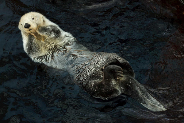 Southern Sea Otter enjoys a rest on the surface - 4ocean Sea Otter Bracelet