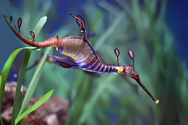A Sea Dragon is in the Seahorse Family