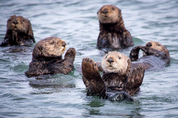 Sea Otters: Incredibly Cute  Incredibly Important  - 4ocean