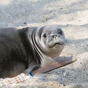 Hawaiian monk seal with radio tracking collar after release