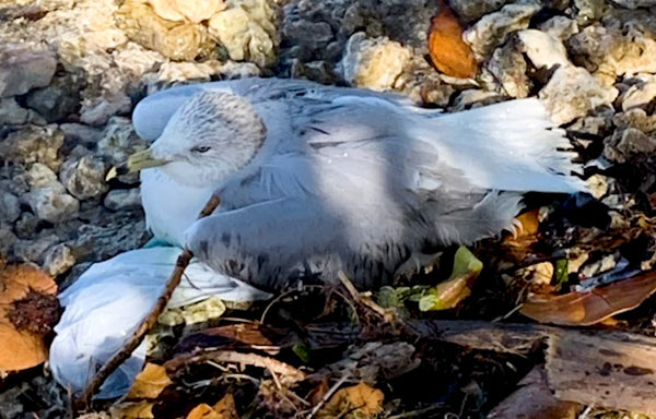 4ocean Rescues a Ring-Billed Gull