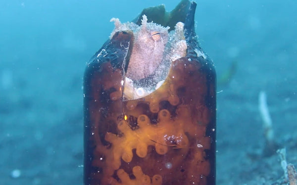 Octopus Hiding in Glass Bottle