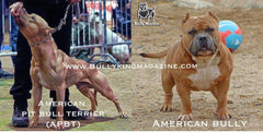 The History Of The American Pit Bull Terrier & The Evolution Of The American Bully