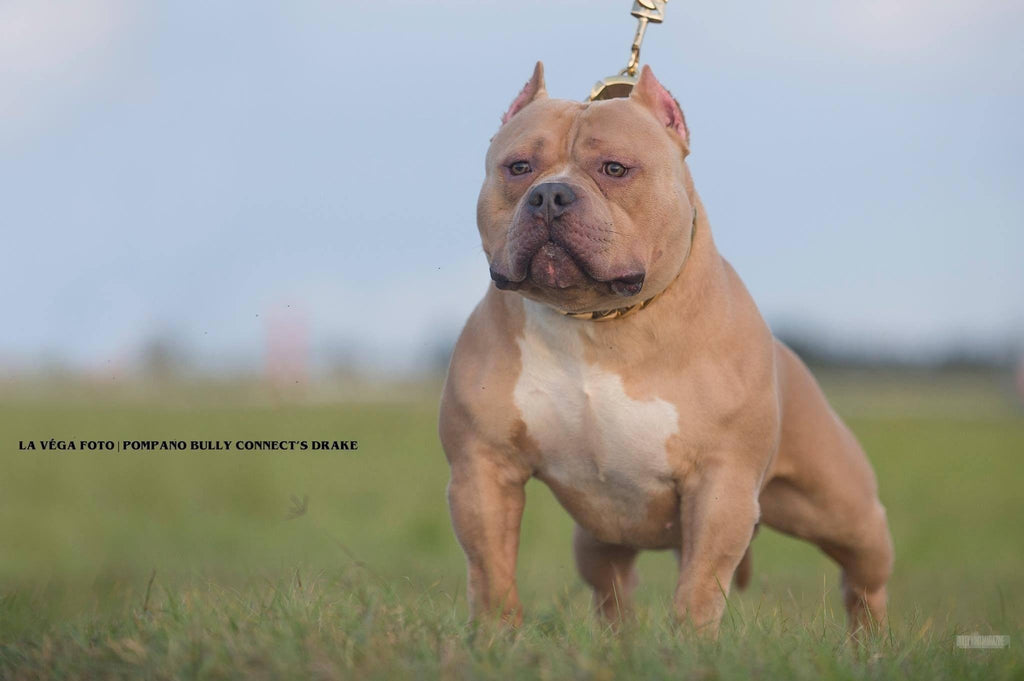 Everything You Need To Know About The Fastest Growing Dog Breed: The American Bully-BULLY KING Magazine