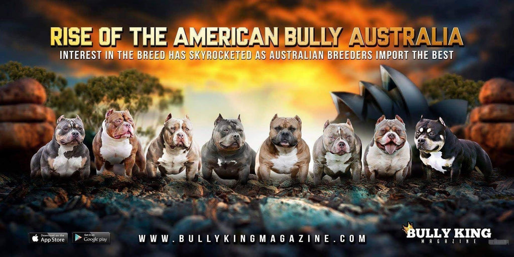 Rise Of The American Bully Australia-BULLY KING Magazine