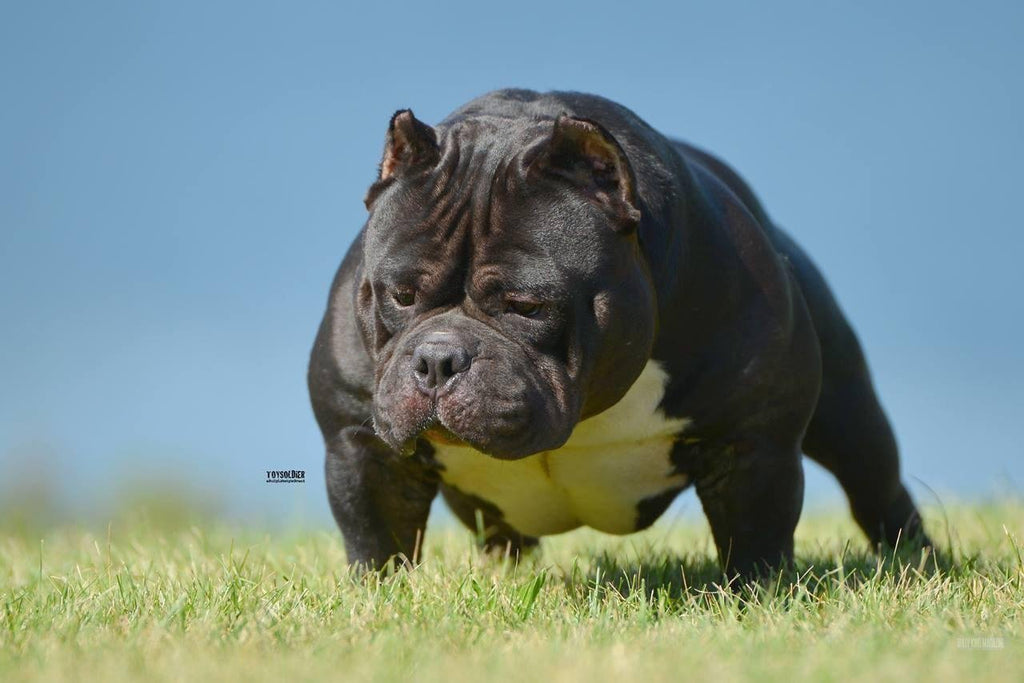 What are the Best Food & Supplements to Add Muscle to my Pit Bull or American Bully?-BULLY KING Magazine