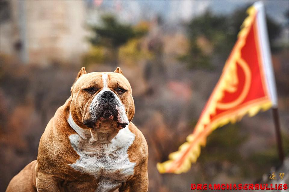 Becoming An American Bully Breeder | Read This First