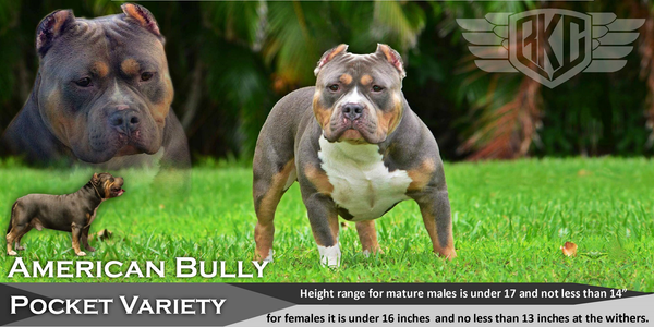 everything you need to know about the american bully the