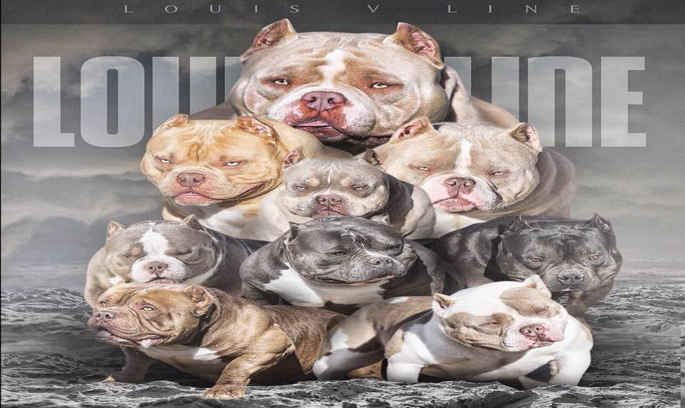 Bully Breed News & Articles | American Bully | Exotic Bully