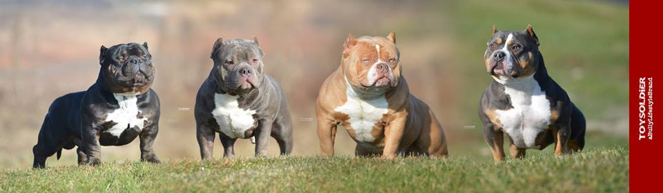 Bully Breed News & Articles | American Bully | Exotic Bully | Bulldogs