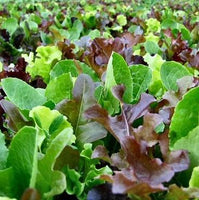 Living Lettuce, Summer Lettuce Mix