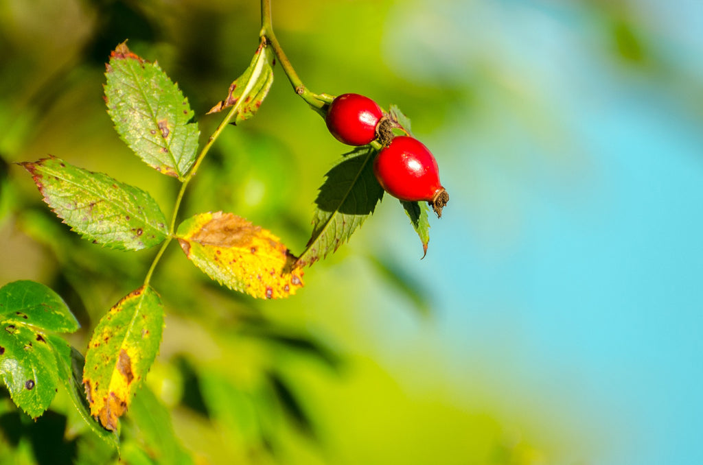 Rosehip Oil 101: What You Should Know Before You Apply