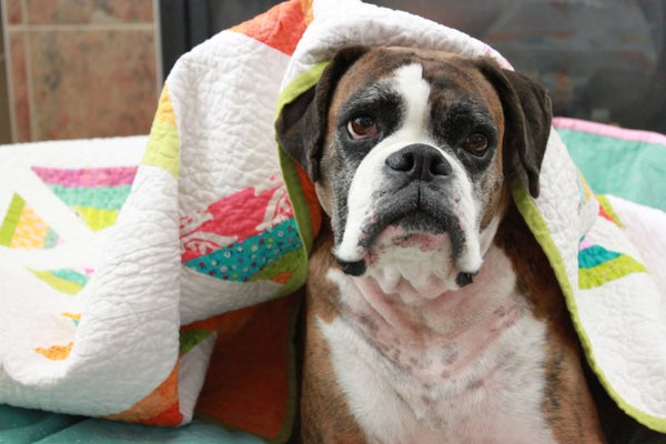 boxer dog on quilt