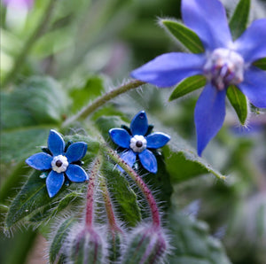 Starflower Borage Stud Earrings