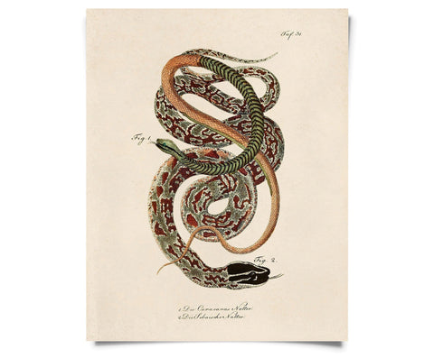 Vintage Natural History French Snake Print