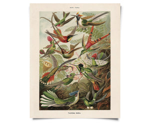Vintage Natural History Haeckel Hummingbirds Print