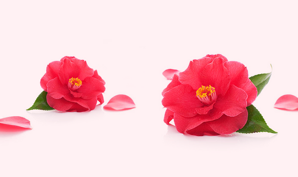 Camellia Oil: A Treasured Japanese Beauty Secret (Tsubaki)