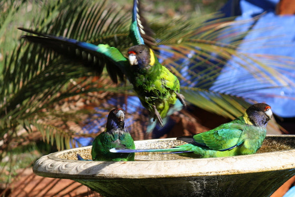 Australian Bird Feeding and Watering Study