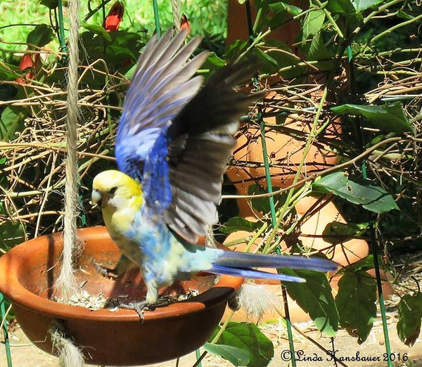Image from Australian Bird Feeding and Watering Study