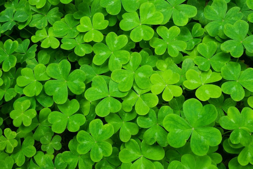 Irish Symbols Series The Irish Shamrock Explained The Irish