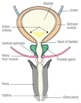 How the Male Bladder Works - Image credit Canadian Continence Foundation