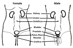 Urinary system - female and male