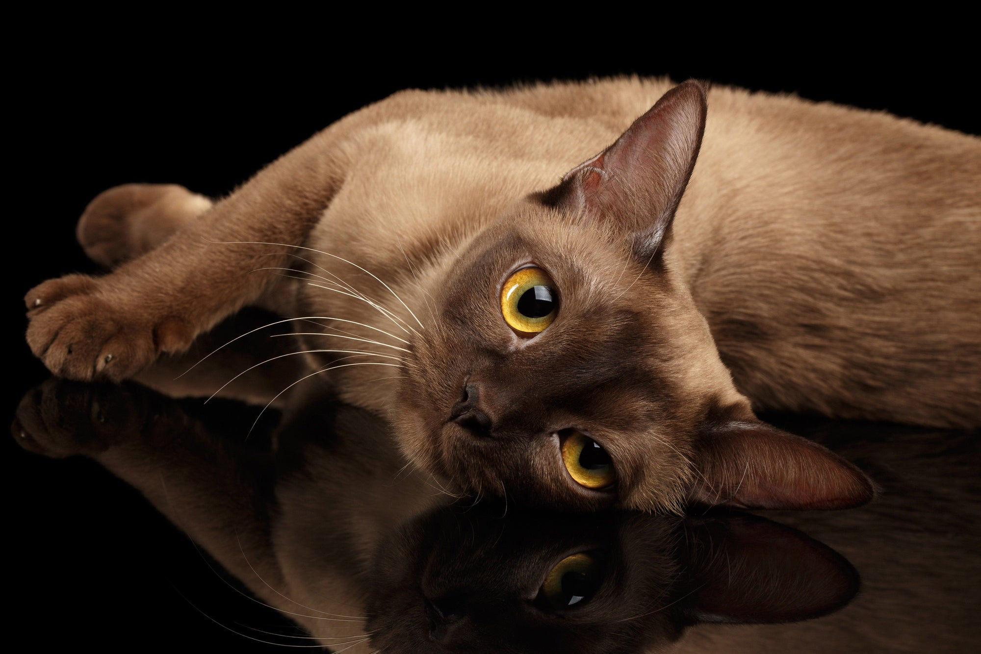 Burmese Cats: A Guide to the Breed
