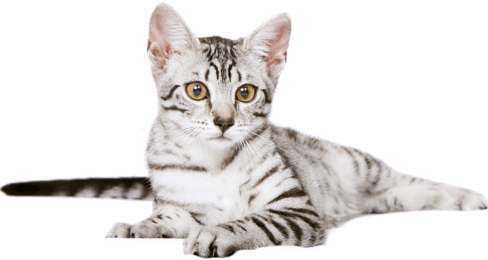 All About the Egyptian Mau Cat