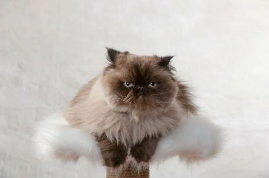 4 Things to Know About Himalayan Cats